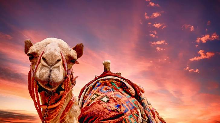 camel head at sunset