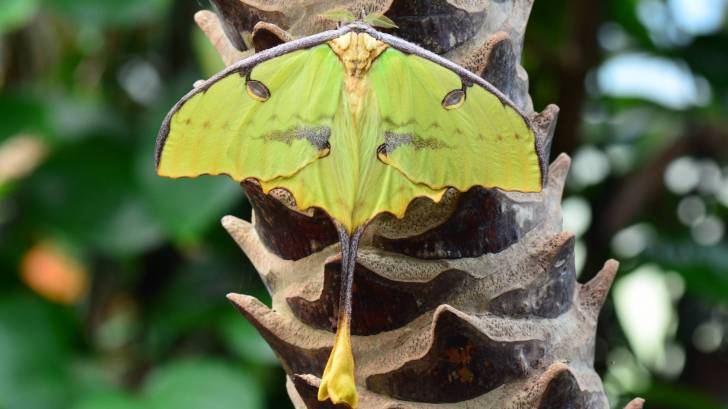 madagascar moth