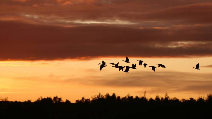 migrating birds at sunset