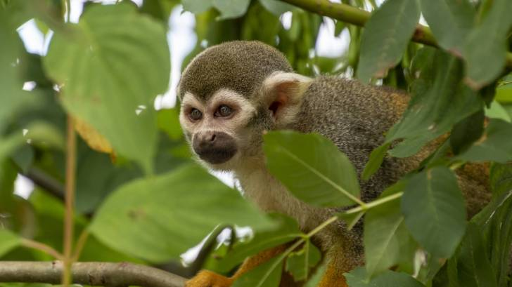 nigerian monkey