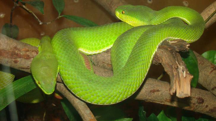 palm viper green snake deadly