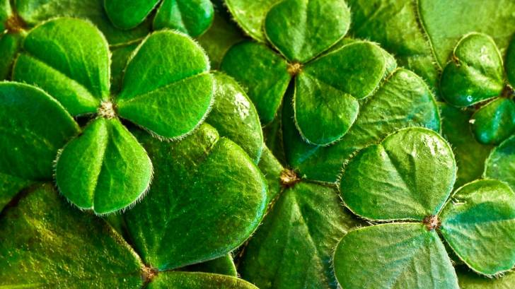 irish shamrocks