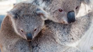 kid and mom Koala Bear