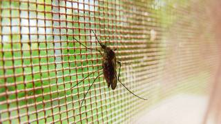 mosquitoe in a netting