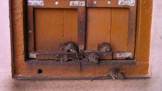 rats at a door stoop