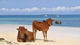cows on a beach in tanzania
