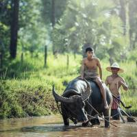 water buffalo riding in the river in Laos