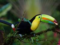 keel billed toucan lives in costa rica forests